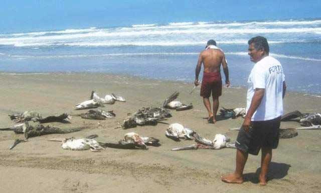 pelícanos muertos en una playa de Perú