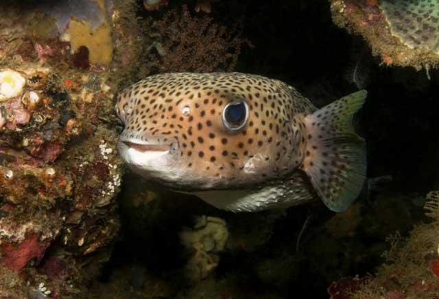 pez globo amenaza en mar Arábigo