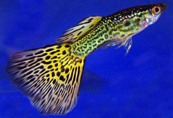 pez guppy (Poecilia reticulata)