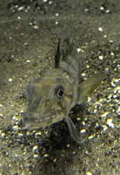 pez de hielo ocelado (Chionodraco rastrospinosus)