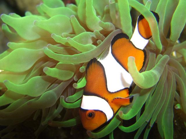pez payaso y una anémona