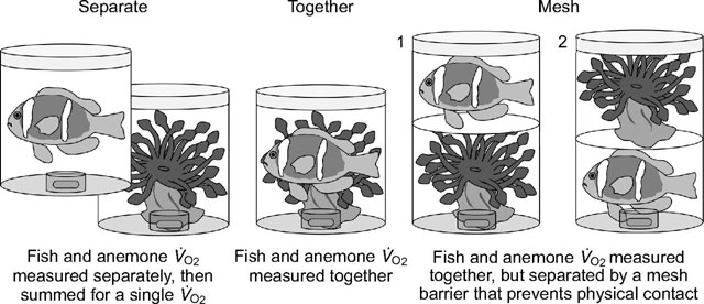 el pez payaso beneficia a la anémona