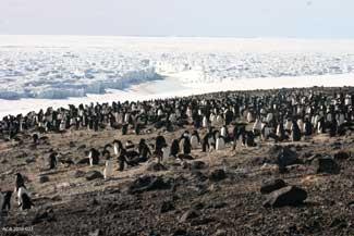pingüinos Adelia en la isla de Beaufort