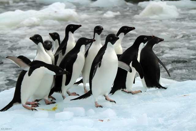 pingüinos Adelia en la isla de Beaufort, Antártida