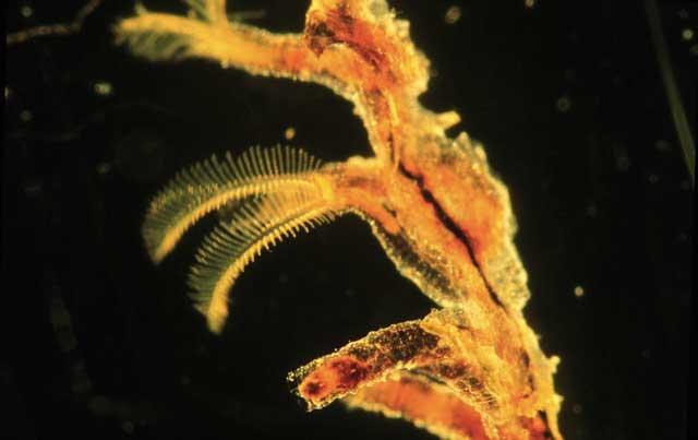 pterobranquio moderno Rhabdopleura normani