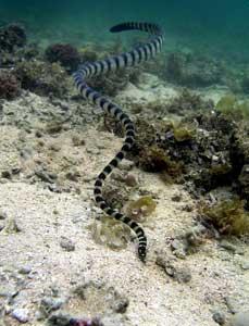 serpiente marina de bandas azules (Hydrophis melanocephalus)