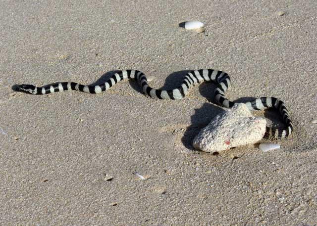 serpiente marina de cabeza pequeña