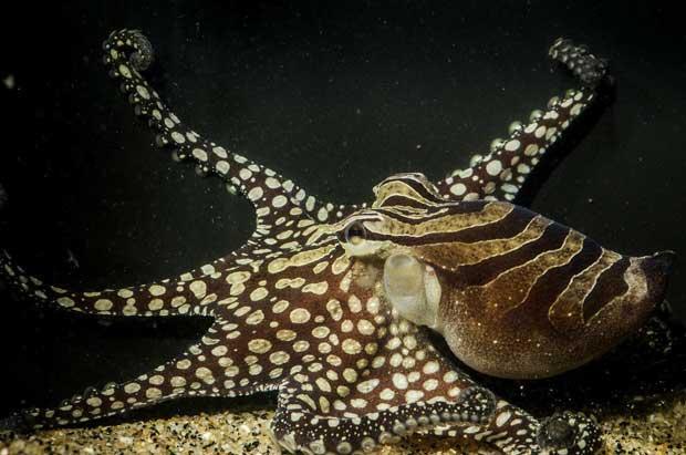 alargamiento de los tentáculos de los pulpos
