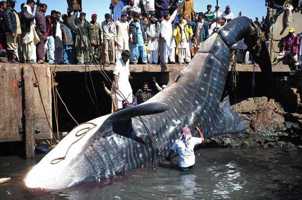 tiburón ballena encontrado en karachi