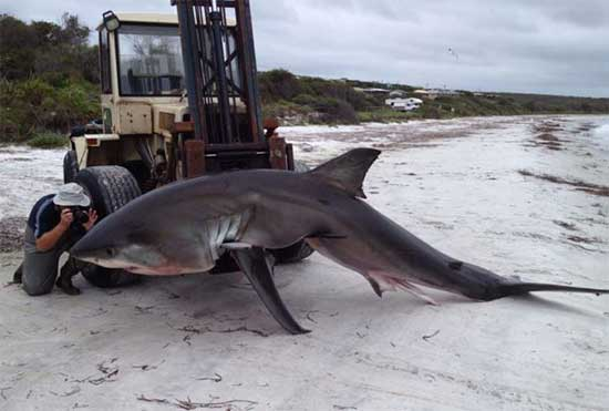 tiburón blanco enredado en Australia
