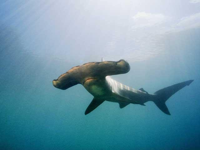 tiburón martillo entra apéndice 2 del CITES