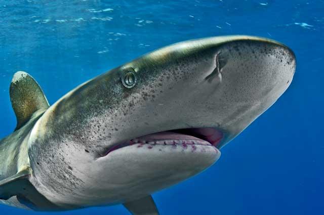 tiburón oceánico de puntas blancas cites