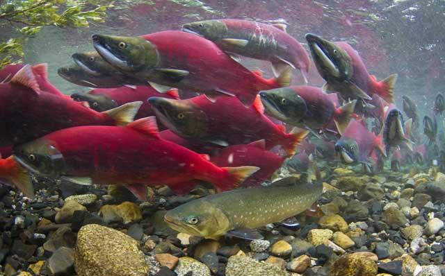 trucha Dolly Varden espera la puesta de huevos del salmón