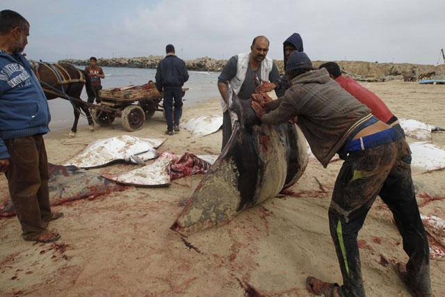varamiento masivo de mobulas en Palestina