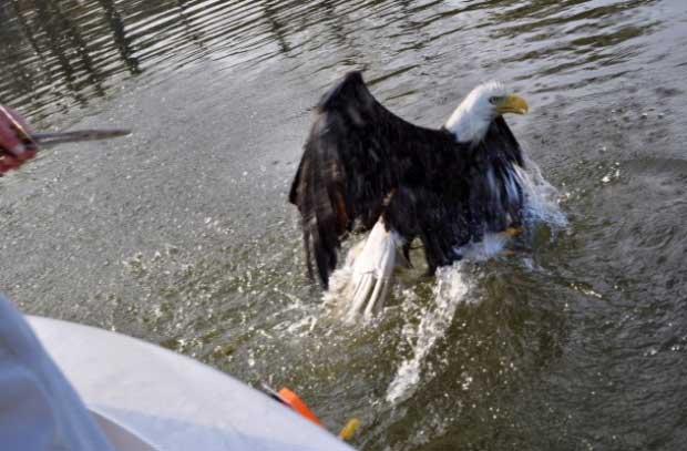 águila roba trucha a un pescador