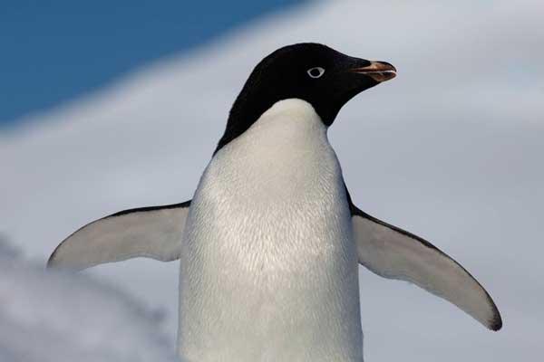 aletas de pingüino