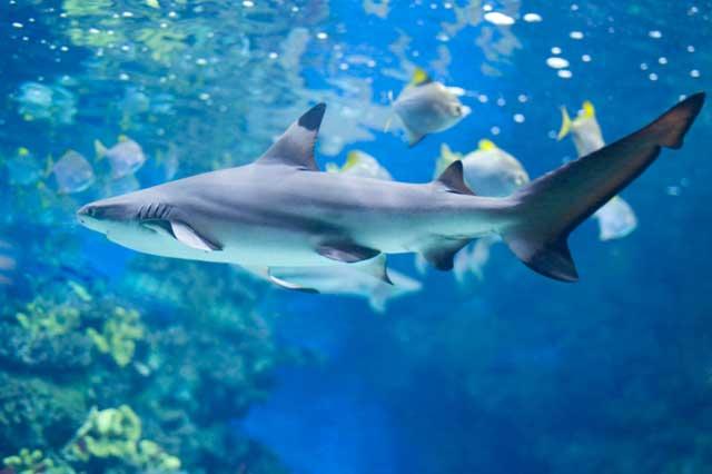 apreciar a los tiburones