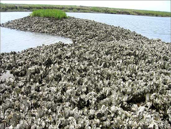 arrecife de ostras en Chesapeake Bay