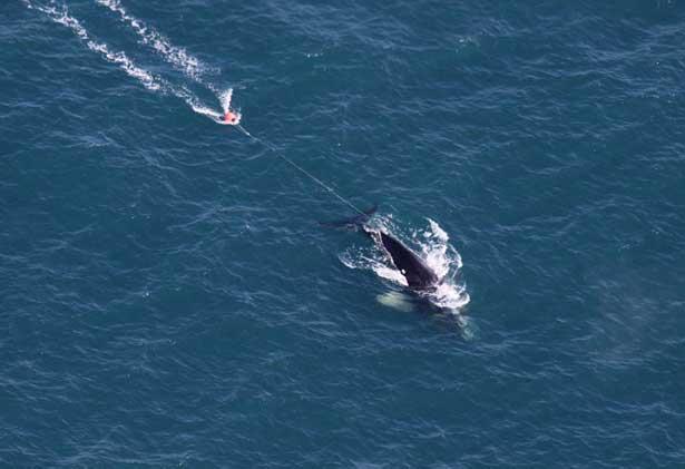 ballena enredada Eg 3911