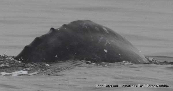 ballena gris avistada al sur del Ecuador frente a Namibia