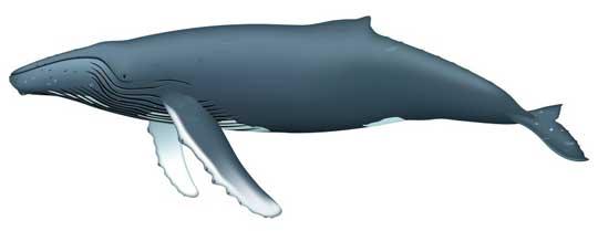 ballena jorobada