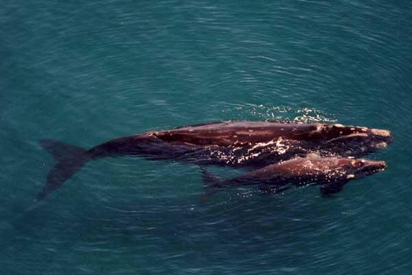 ballenas franca austral en la Patagonia
