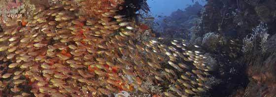 banco de peces en el Triángulo de Coral