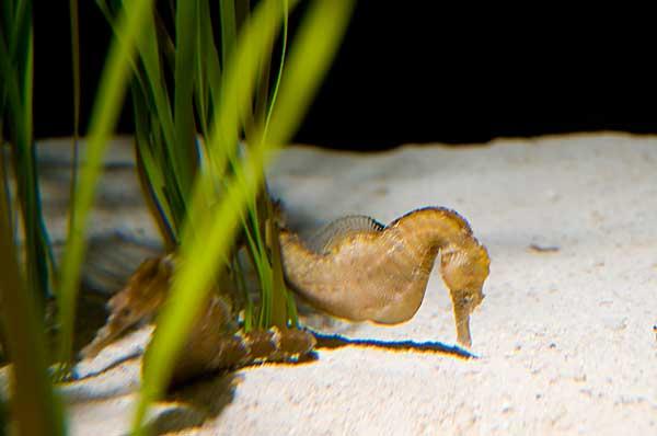caballito de mar hembra