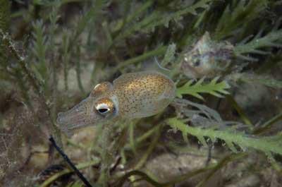 calamar cola de botella (Sepiadarium austrinum)
