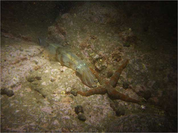 calamar Loligo bleeker fertilizando huevos