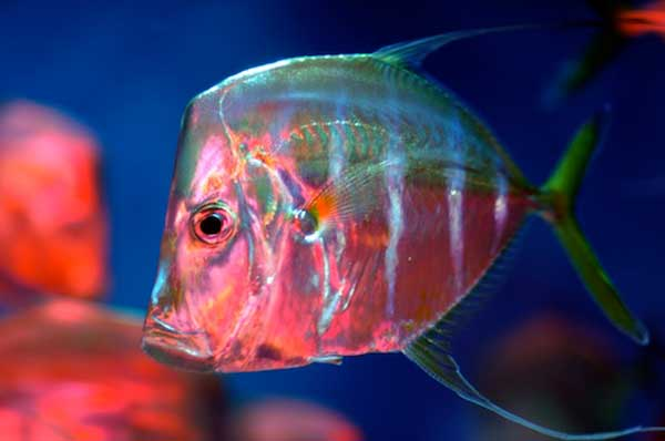 camuflaje de un pez jorobado (Selene vomer)