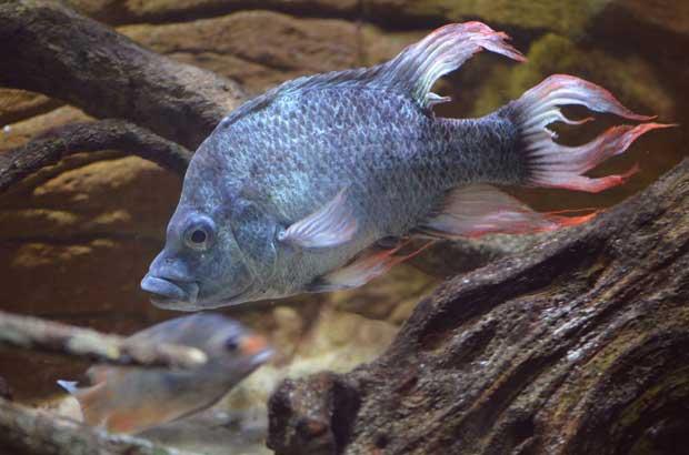 cíclido del Mangarahara (Ptychochromis insolitus)