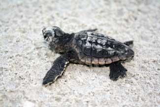 cría de tortuga marina