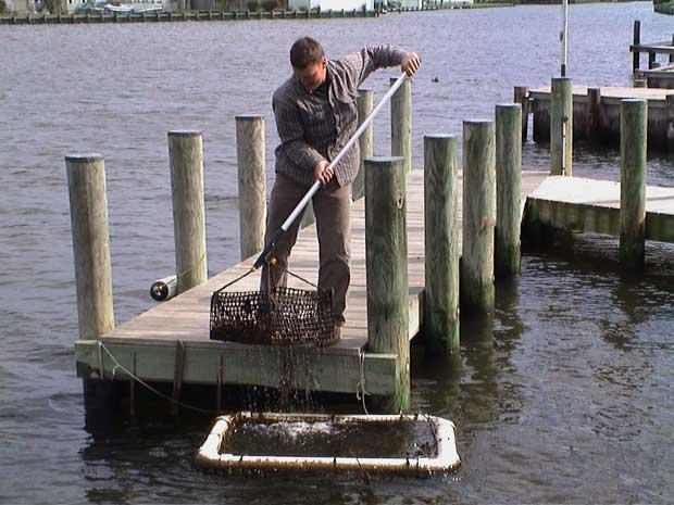 criadero de ostras en un muelle de Chesapeake Bay