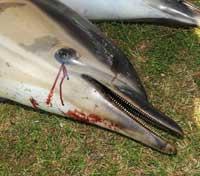 delfín varado en Falmouth Bay en 2008