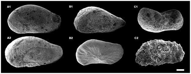 diferentes desarrollos de estatolitos de calamar