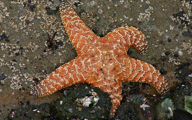 estrella de mar ocre (Pisaster ochraceus)