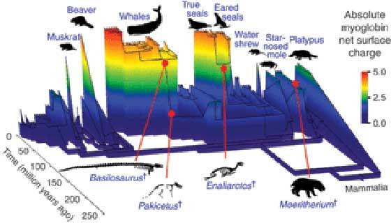evolución de la mioglobina en los mamiferos marinos