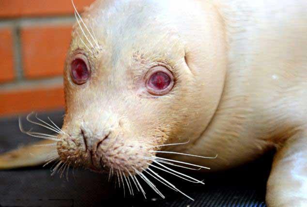 foca albina Junior