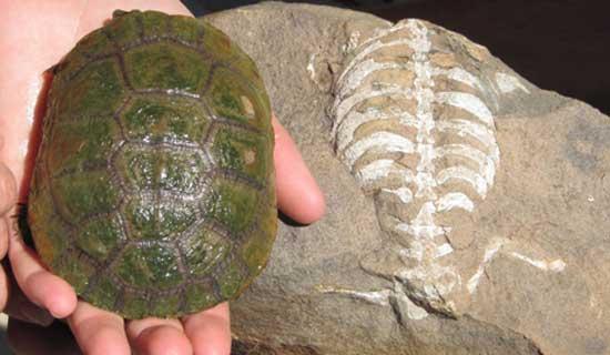 Fósil de Eunotosaurus africanus y una concha de tortuga moderna