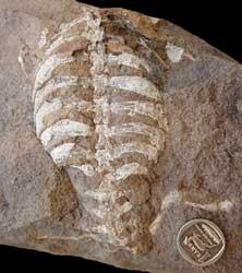fósil de Eunotosaurus africanus
