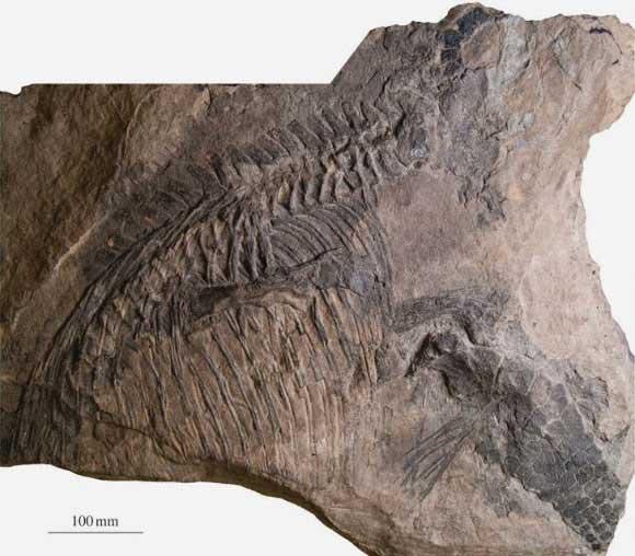 fósil de ictiosaurio Malawania anachronus