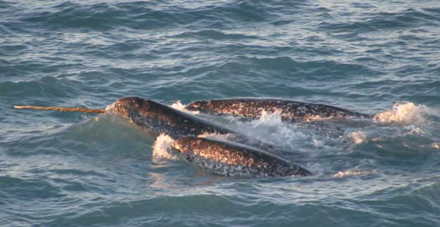 grupo de narvales, NOAA