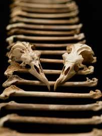huesos antiguo de petrel hawaiano