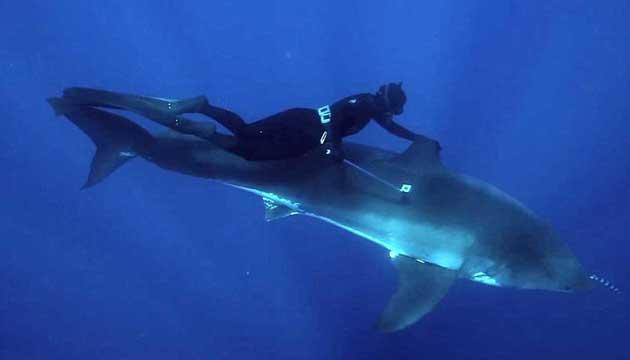 Kimi Werner nada con un tiburón blanco