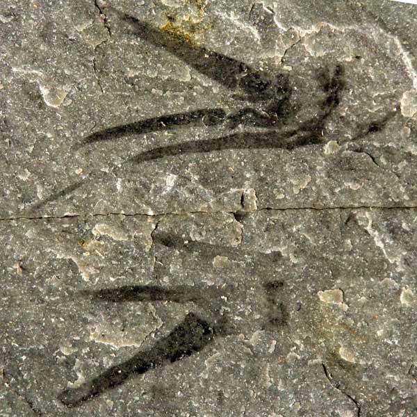 Kooteninchela deppi, fósil