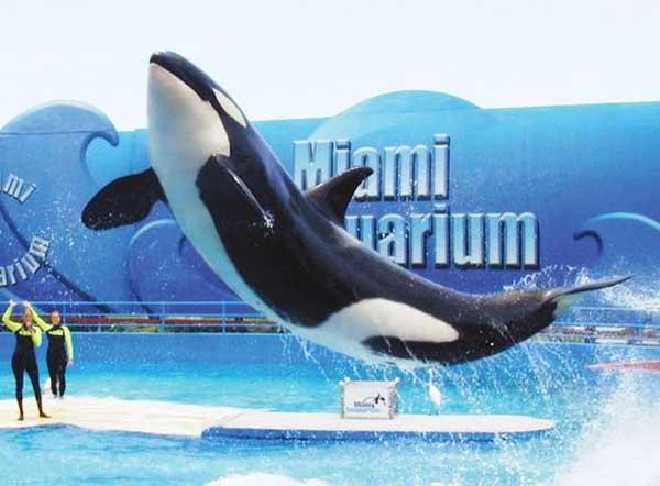 la orca Lolita en el Seaquarium de Miami