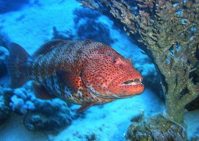 mero coral (Plectropomus pessuliferus marisrubri)