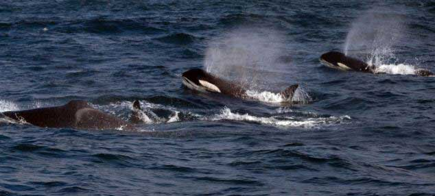 orcas cazan a una ballena de Bryde