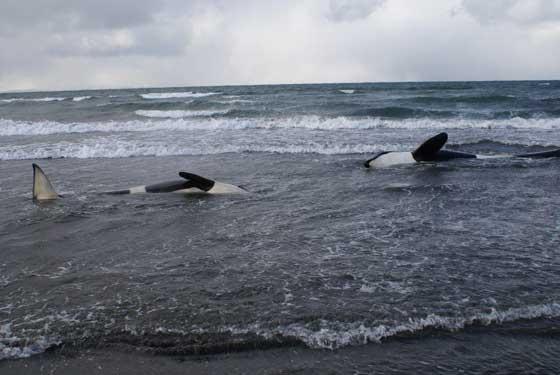 orcas varadas en el Reino Unido